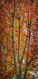 Autumn Trees, California. Tree branches with the vibrant colors in the changing leaves of fall in southern California Royalty Free Stock Photo