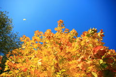 Autumn trees and clouds Royalty Free Stock Images