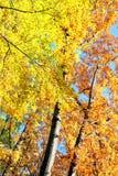 Autumn trees. Royalty Free Stock Image