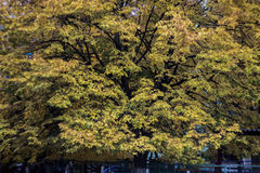 Autumn trees composition. Large beautiful high trees Royalty Free Stock Images