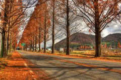 Autumn Trees in Damyang Stock Image