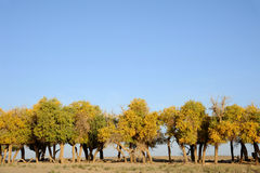 Autumn trees in desert Stock Images