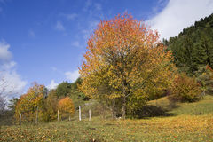 Autumn trees and evergreen forest. Behind Stock Image