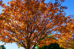 Autumn Trees. Fall colors on single tree with sky background Stock Photos