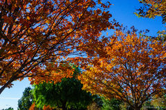 Autumn Trees. Fall colors on two trees with foliage background Royalty Free Stock Images