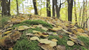 Autumn trees with fallen dry leaves stock video footage