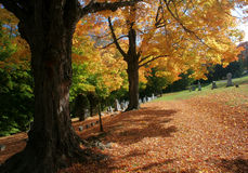 Autumn trees and fallen leaves. Yellow tree in Fall or Autumn with fallen leaves stock photos