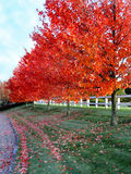 Autumn trees with fence 1. Red trees on a farm with white fence Royalty Free Stock Photo