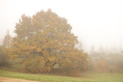 Autumn trees in fog. Autumn trees in a foggy morning during fall season Royalty Free Stock Images
