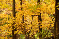 Autumn Trees in the Forest Royalty Free Stock Photos