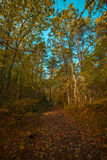 Autumn trees in the forest Royalty Free Stock Image