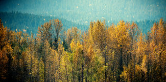 Autumn trees in forest Royalty Free Stock Photo