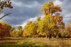 Autumn trees of golden colour Stock Image
