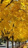 Autumn trees in golden yellow border residential street. A row of autumn trees in golden sunlight color border small town residential street stock photo