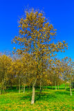 Autumn Trees on Green Grass Royalty Free Stock Photography