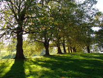 Autumn trees in Greenwich Park. Leafy green autumn trees in Greenwich Royal Park London stock photo