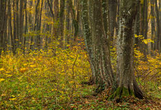 Autumn Trees in het Bos Royalty-vrije Stock Foto's