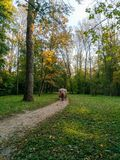 Autumn trees, a horse walking coach with tourists royalty free stock image
