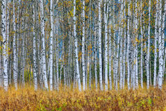 Free Autumn Trees In The Finland Forest. Yellow Trees With Reflection In The Still Water Surface. Fall Landscape With Trees. Birch Tree Royalty Free Stock Photo - 80548425