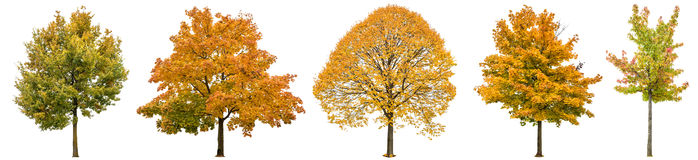 Autumn trees isolated white background Oak maple linden. Autumn trees isolated on white background. Oak, maple, linden. Yellow red green leaves Stock Photo