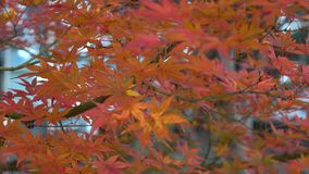 Autumn trees and leaves at forest in Yumoto, Japan.  stock footage
