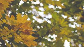 Autumn Trees Leaves over blurred background.  stock footage