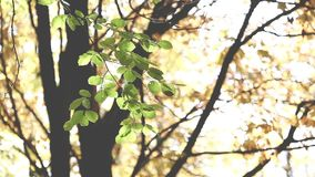 Autumn Trees Leaves over blurred background stock footage