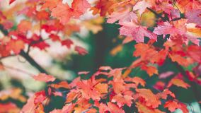 Autumn Trees Leaves over blurred background stock video