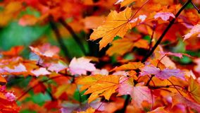 Autumn Trees Leaves over blurred background stock video footage