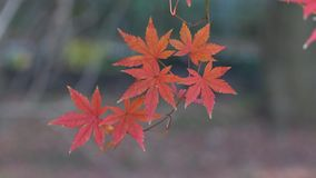 Autumn trees and leaves. At rainy day in Yumoto, Japan stock footage