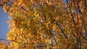 Autumn Trees stock footage