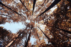 Autumn trees look up Stock Images
