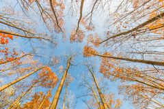 Autumn trees looking up point of view. Clear blue sky and colorful leaves. Autumn trees and blue sky in vintage style effect. Boost up color process royalty free stock images