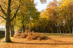 Autumn trees and many fallen leaves, Netherlands Royalty Free Stock Photo