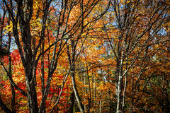 Autumn trees. Autumn maple trees with colorful fall foliage and picturesque branches in Algonquin Provincial Park, Canada Stock Image