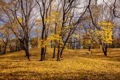 Autumn Trees med gula sidor landar blå himmel Royaltyfri Fotografi