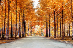 Autumn trees in Nami island. royalty free stock photography