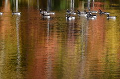 Autumn trees near pond with Canada geese on water reflection Royalty Free Stock Photos