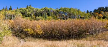 Autumn Trees in Northern Utah Mountains Royalty Free Stock Photography