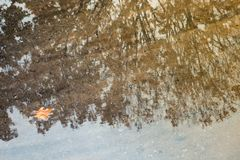 Autumn trees with orange leaves are reflected in a puddle, the f stock photography