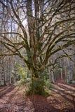 Autumn trees in Ordesa National Park, Pyrenees, Huesca, Aragon, Stock Photography