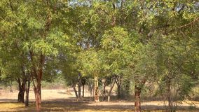 Autumn trees at the park in Old Bagan, Myanmar. Autumn trees at the main park in Old Bagan, Myanmar stock video footage