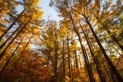 Autumn trees of pine forest in autumn season Royalty Free Stock Photo