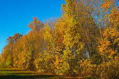 Autumn trees with red and yellow leaves on sky background and sun light nature background. Autumn trees with red and yellow leaves stand in a row against the Royalty Free Stock Images