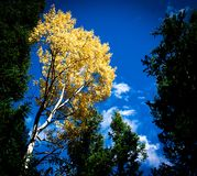 Autumn trees on Rocky Mountains in Colorado royalty free stock photos