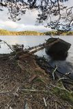 Autumn trees and roots at Loch Garten in the Cairngorms National Park of Scotland. Royalty Free Stock Image