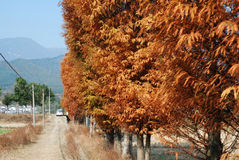 Autumn trees row. Autumn brown trees row in Wuyuan, China Royalty Free Stock Images