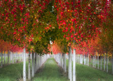 Autumn Trees in rows. Rows of autumn colored trees with white trunks and green grass royalty free stock image