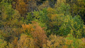 Autumn trees rustling. Colorful autumn trees with rustling leaves as the wind sweeps the valley stock video footage