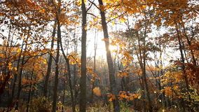 Autumn trees. With shining sun stock footage